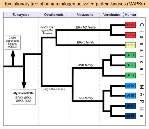 MAPK-evolutionary-tree