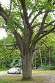 MOs810 WG 2015 22 (Notecka III) (Rapin, tree).JPG