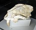 Machairodus aphanistus male skull 02- Batallones fossil sites, Torrejón de Velasco, Madrid, Spain.jpg