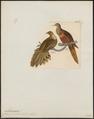 Macropygia amboinensis - 1820-1860 - Print - Iconographia Zoologica - Special Collections University of Amsterdam - UBA01 IZ15600369.tif