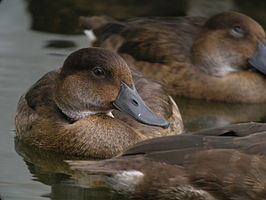 Madagascar Pochard, Captive Breeding Program, Madagascar 3.jpg