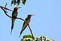Madagascar bee-eaters.jpg