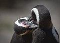 Magellanic penguin, Valdes Peninsula, d.jpg