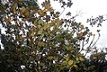 Magnolia grandiflora 51zz.jpg