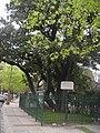 Magnolia histórica 9.JPG