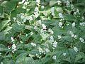 Maianthemum bifolium 6006.jpg