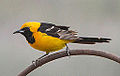 Male Hooded Oriole (7620091564).jpg
