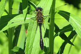 Male Racket-tailed Emerald (Dorocordulia libera), Mer Bleue Conservation Area, Ottawa, Ontario, Canada - 20100604.jpg