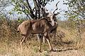 Male kudu (3688074150).jpg