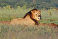 Male lion (Addo).JPG