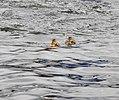 Mallard chicks (27933263336).jpg