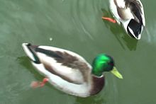 File:Mallards pond 2009.ogv