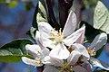 Malus domestica Pristine 0zz.jpg