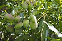 Albero di mango (22708493) .jpg
