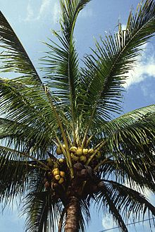 A coconut palm.