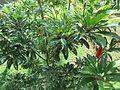Manilkara zapota (Naseberry) tree in RDA, Bogra 05.jpg