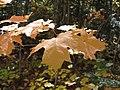 Maple leaves (6189655610).jpg