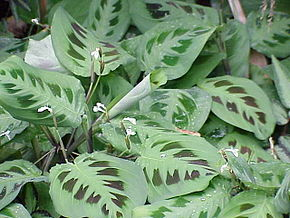 Description de l'image Maranta leuconeura3.jpg.