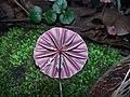 Marasmius tageticolor Berk 738141.jpg