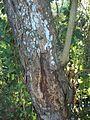 Margaritaria discoidea medicine bark.JPG