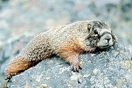 Marmot in Grand Teton NP-NPS.jpg