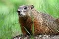 Marmota monax UL 12.jpg