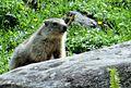Marmotte 2014 2015 (3).JPG