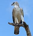 Martial eagle (Polemaetus bellicosus) juvenile (13817104204).jpg
