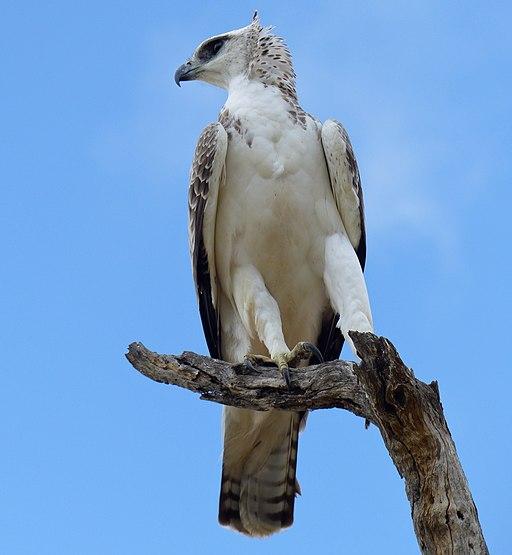 Martial eagle (Polemaetus bellicosus) juvenile (13817104204)