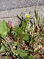 Matricaria chamomilla plant (07).jpg