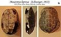Mauremys leprosa names of bones shell 03.jpg