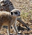 Meerkat (Suricata suricatta) juvenile (32525633756).jpg