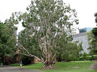 Melaleuca - Image: Melaleuca leucadendra large 1