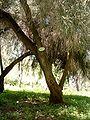 Melaleuca pubescens at Ilanot arboretum-b-RJP.jpg