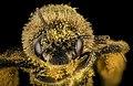 Melissodes desponsa, f, face, Maine, Du Clos 2015-12-01-17.37 (24469964305).jpg