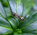 Mellinus arvensis - Flickr - gailhampshire (5).jpg