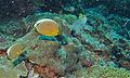 Melon Butterflyfishes (Chaetodon trifasciatus) (8482544892).jpg
