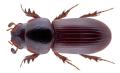 Mendidaphodius linearis (Reiche & Saulcy, 1856).png