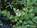 Menyanthes trifoliata VI08 Raate H5501 C.jpg