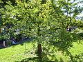 Metasequoia glyptostroboides-Jardin des Plantes 05-small one.JPG