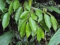 Meteoromyrtus wynaadensis 36.JPG