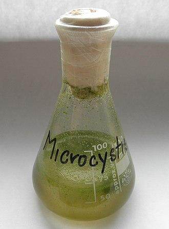 Erlenmeyer flask - Microcystis floating colonies in an Erlenmeyer flask.