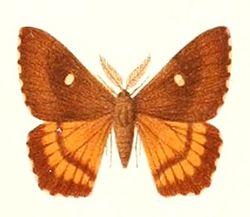 Microdulia mirabilis male 1895.jpg