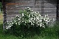 Midsummer Rose (41085260).jpeg