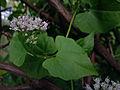 Mikania scandens - Climbing hempweed.jpg