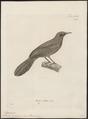 Mimus caerulescens - 1700-1880 - Print - Iconographia Zoologica - Special Collections University of Amsterdam - UBA01 IZ16300327.tif