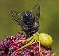 Misumena vatia with fly.jpg