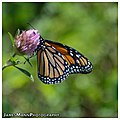 Monarch Butterfly on Pink Clover (15135907159).jpg