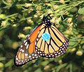 Monarch butterfly with tracking tag.jpg