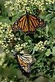 Monarchs Migration By Carole Robertson.jpg